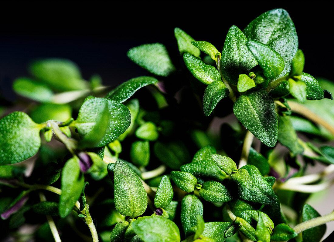 Fresh herbs (close-up)