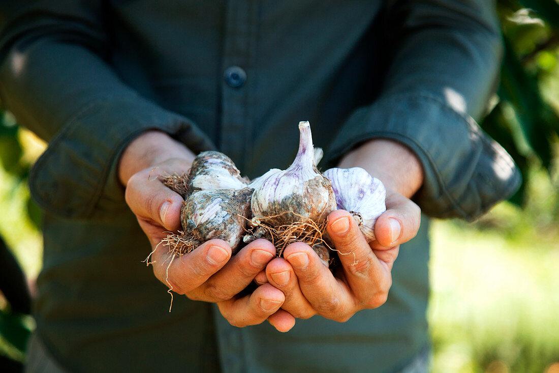 Farmers hands with fresh garlic