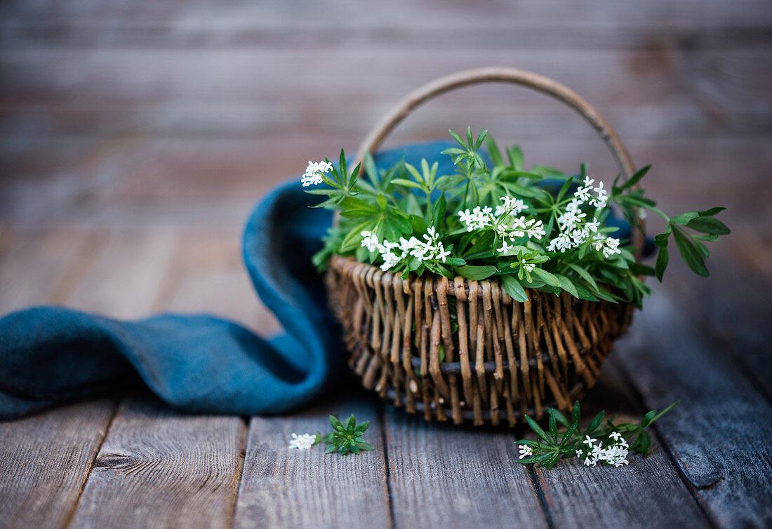 A basket of freshly picked woodruff (galium odoratum)