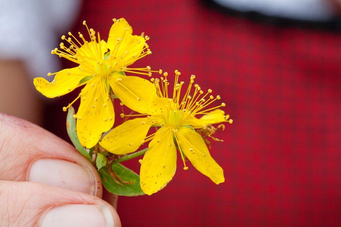 Hand holding fresh St. John's wort blossoms (close-up)