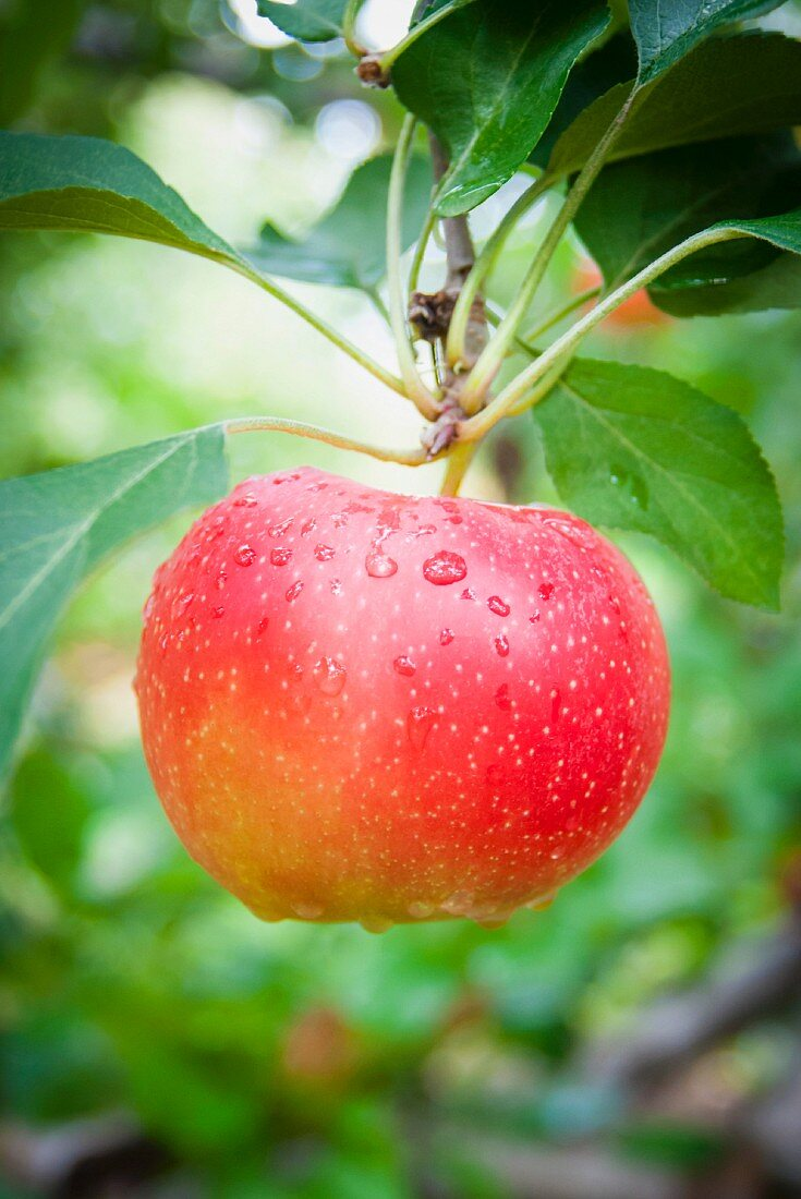 A Close Up of a Single Bright Red Apple on an Apple Tree