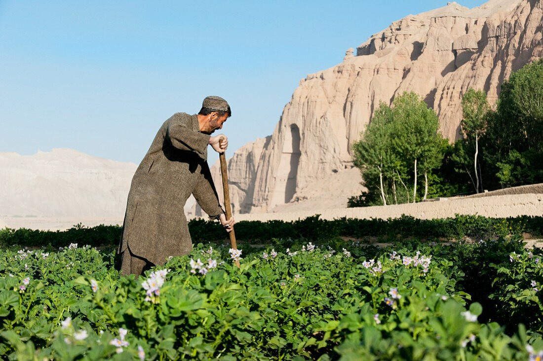A farmer working in potato fields with the ancient Buddha niches visible in the distance in Bamiyan Province, Afghanistan