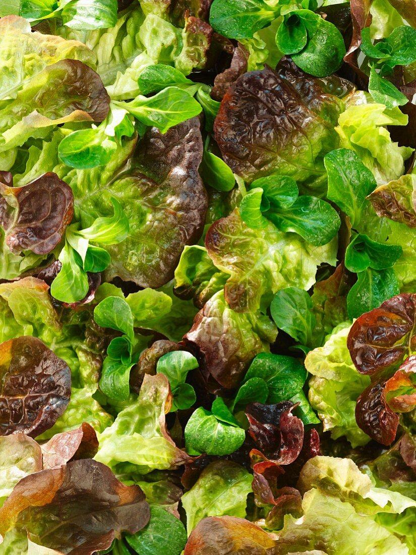 Oak leaf lettuce and lamb's lettuce