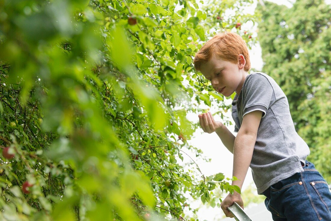 A ten year old by picking plums from a tree