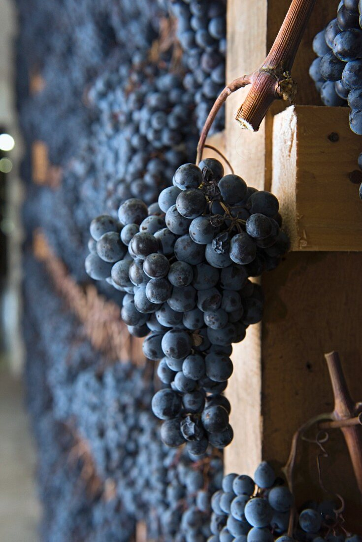 Vernaccia di Serrapetrona, apassimento: grapes suspended for drying (Italy)