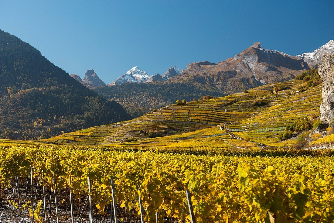 Vineyards at the foot of the rock face of the Haut de Cry (Switzerland)
