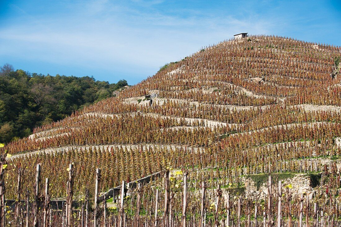 Terraced vineyards in the Rhône valley (France)