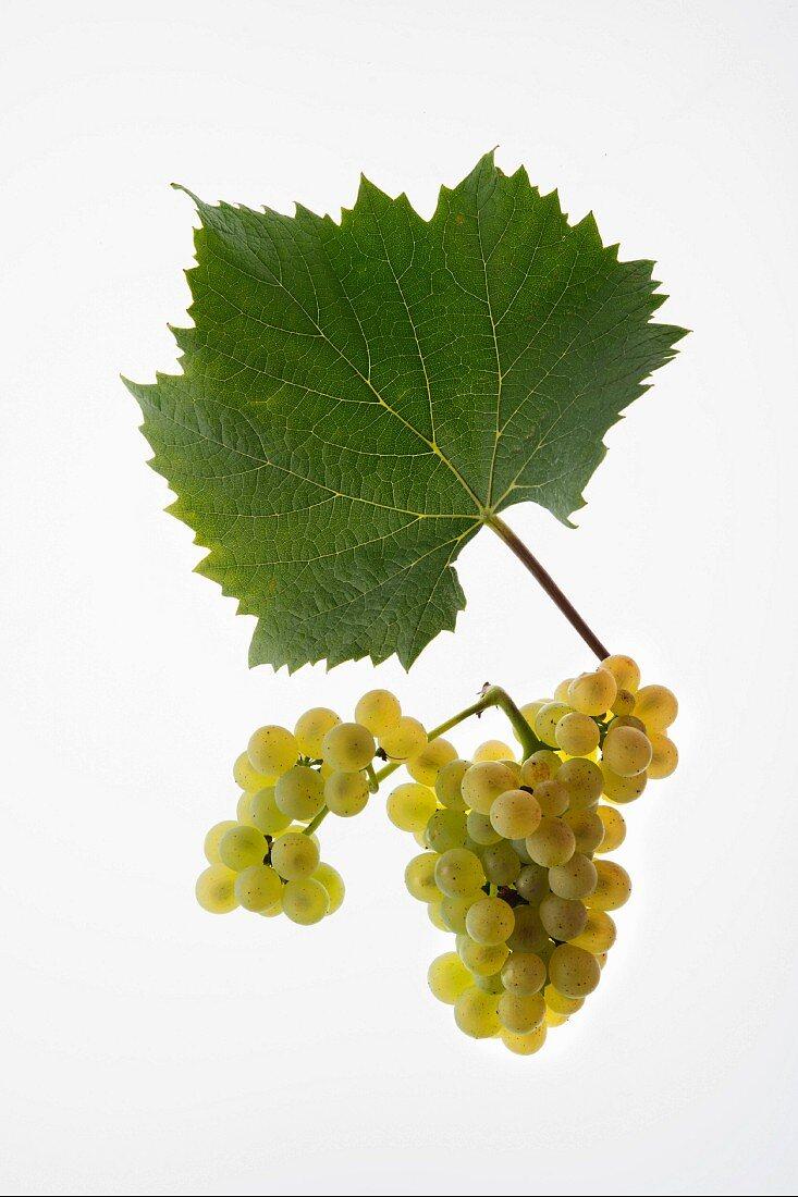 The Aligote grape with a vine leaf