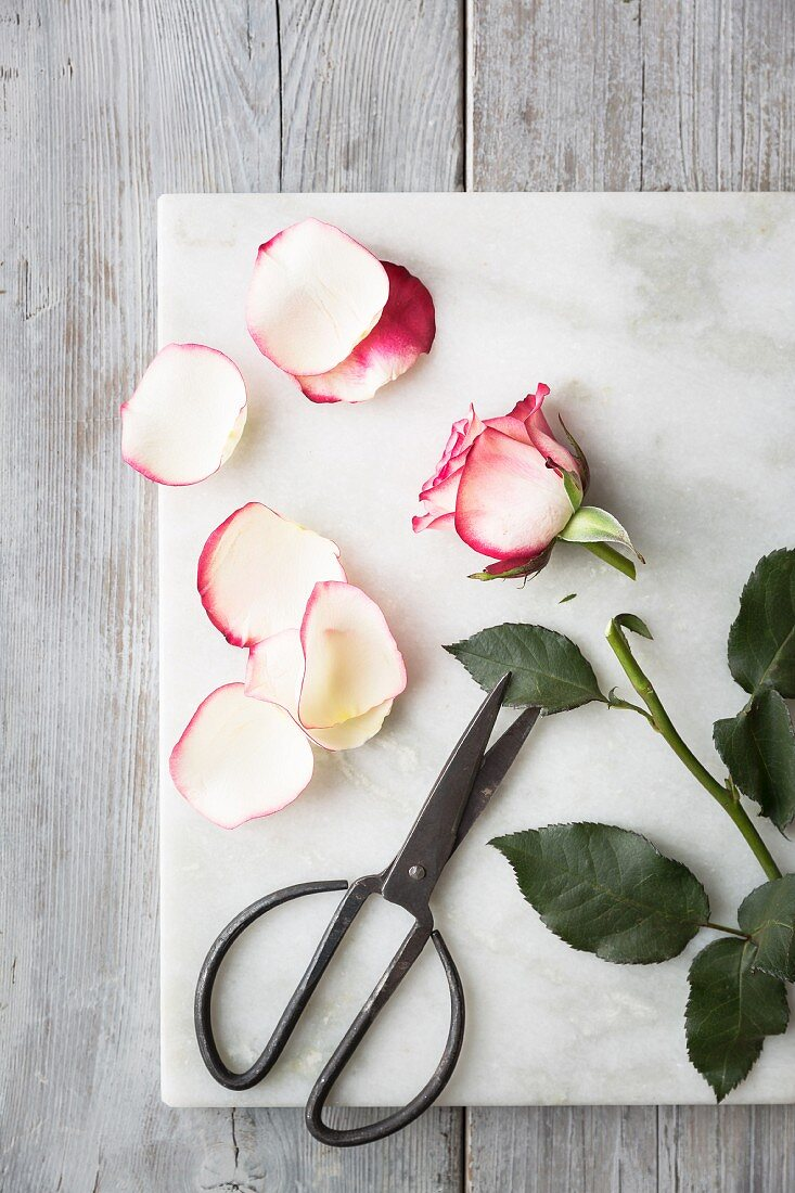 Pink and white rose with a cut stem, rose petals and scissors on a white marble board on a grey wooden table