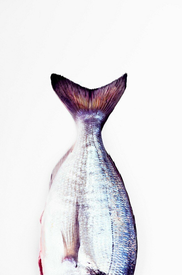 The tail and side fins of a gilt-head sea bream on a white background
