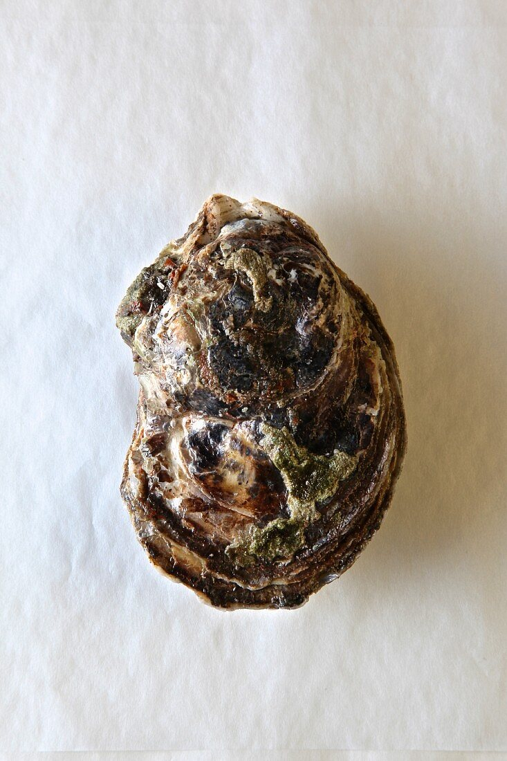 A closed bluepoint oyster against white background (supervision)