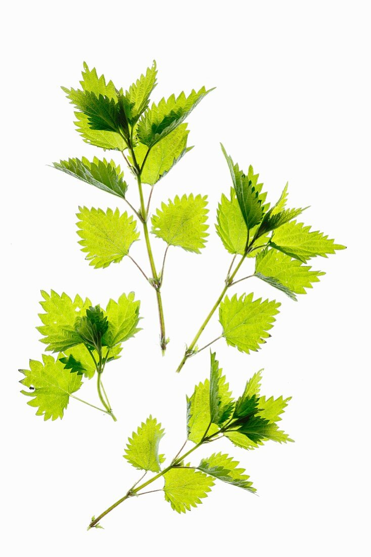 Fresh stinging nettle leaves