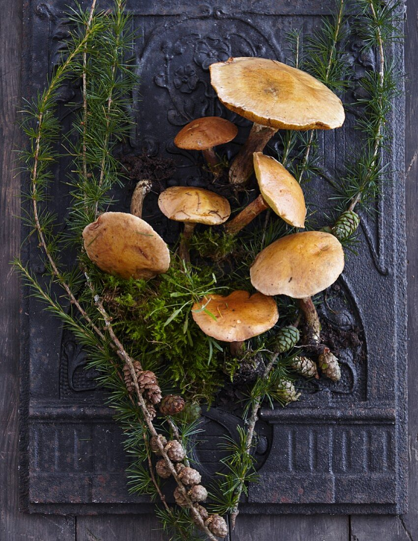 Larch mushrooms and larch branches