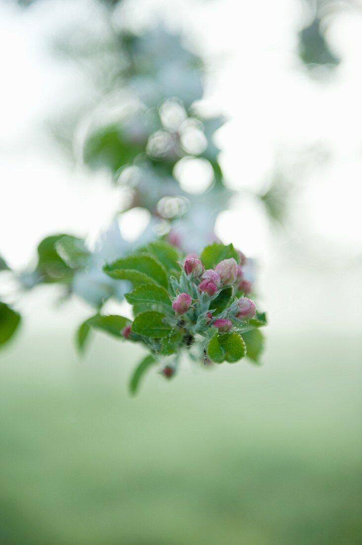 Budding apple blossoms