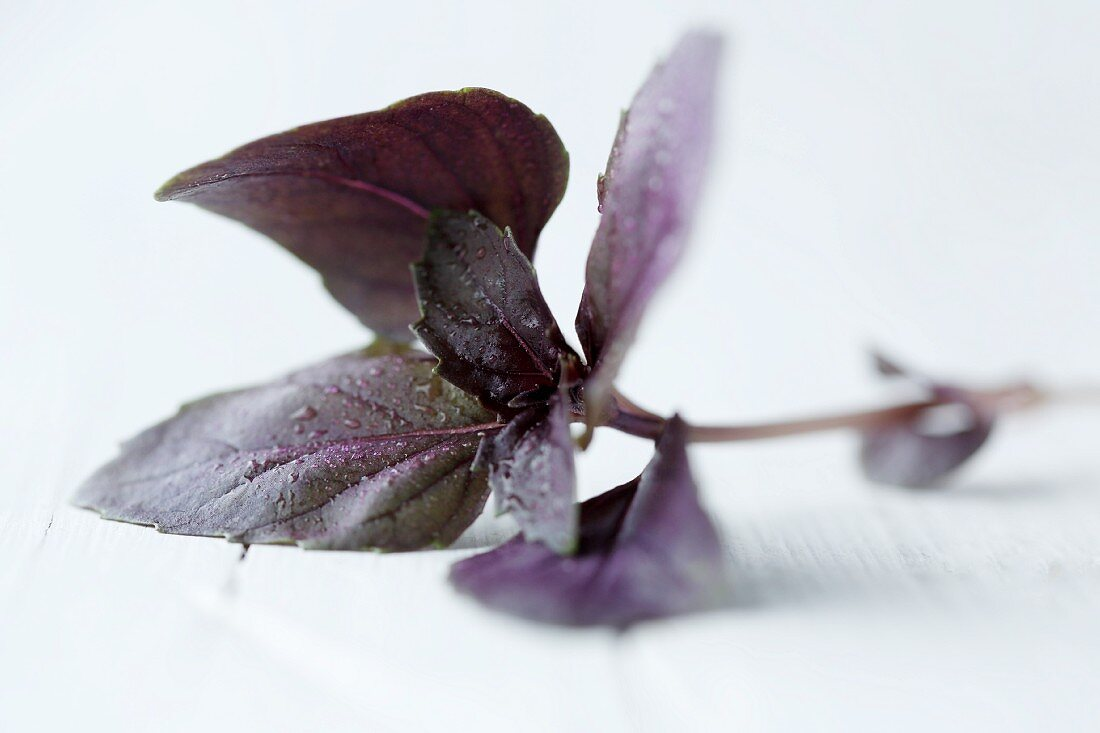 Purple basil on a white background