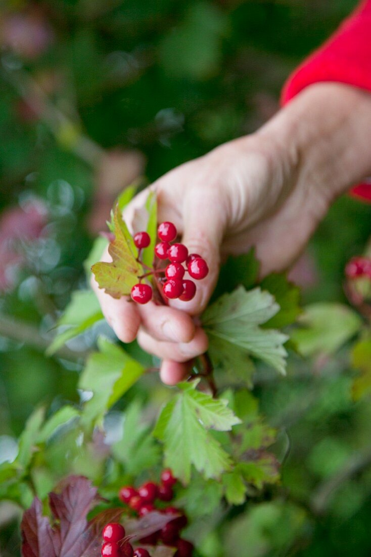 Snowball berries on a bush