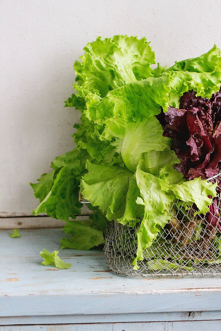 Fresh green and purple leaf salad in basket over old blue white wooden kitchen table