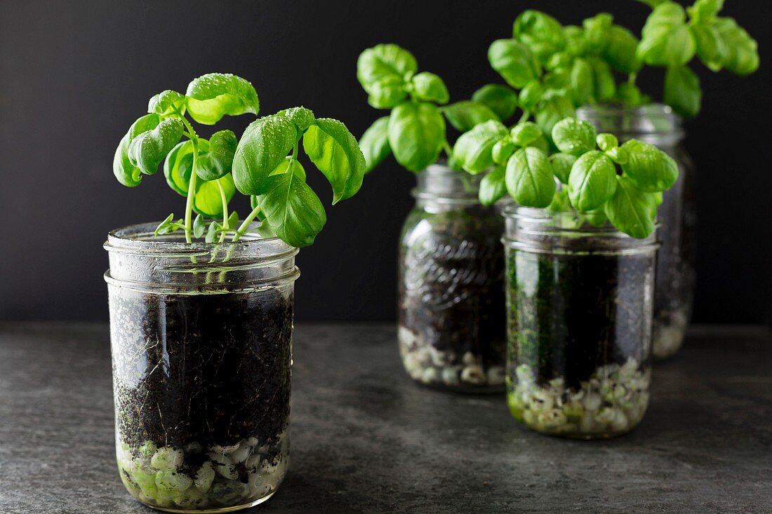 Basil plants growing in jars