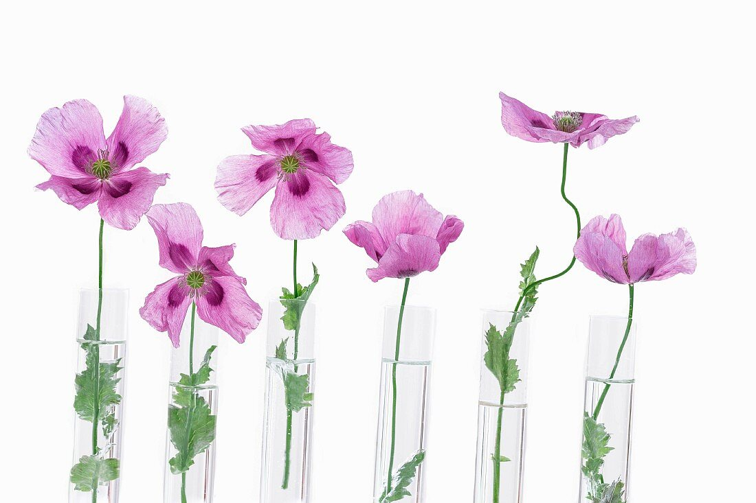 A row of purple poppies in glass test tubes