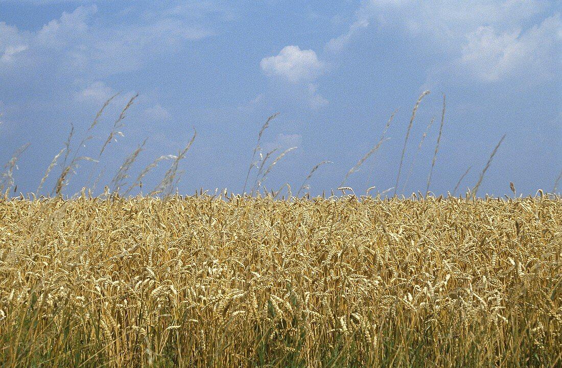 Tall Wheat Field Against a Blue Sky