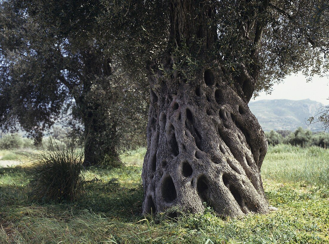 A Old Olive Tree in Greece