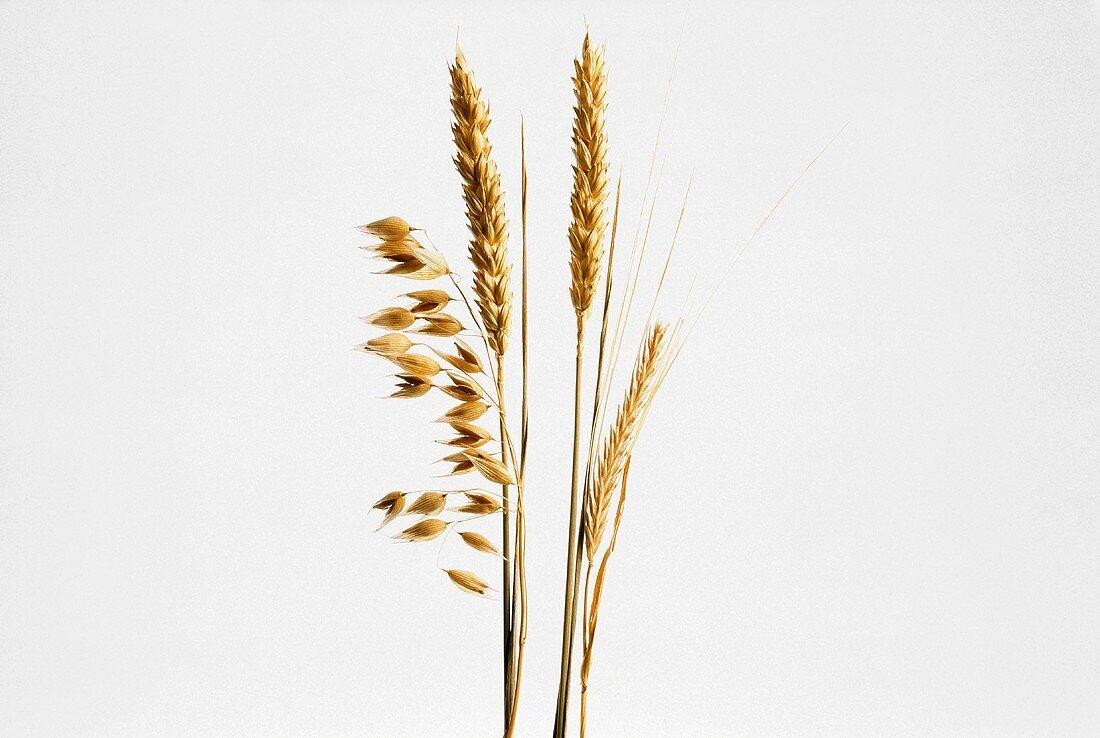 Assorted Grain Ears; Oat Rye and Wheat