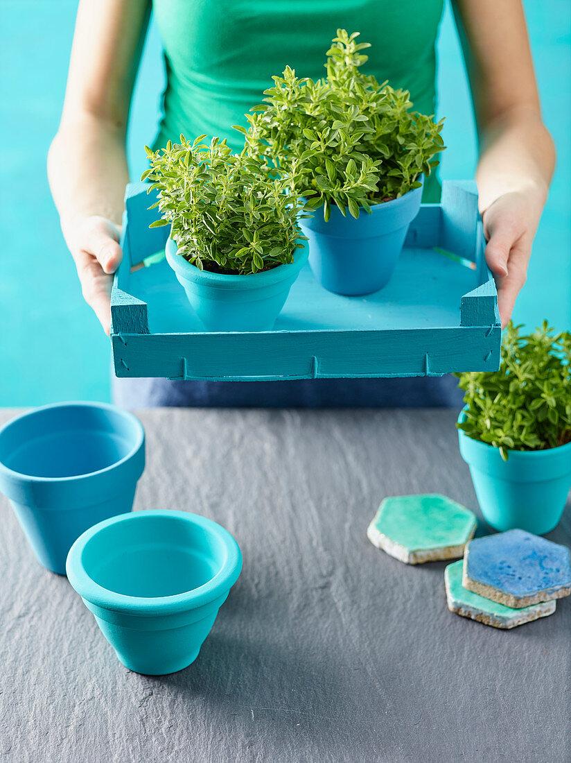 Oregano in blue flower pots