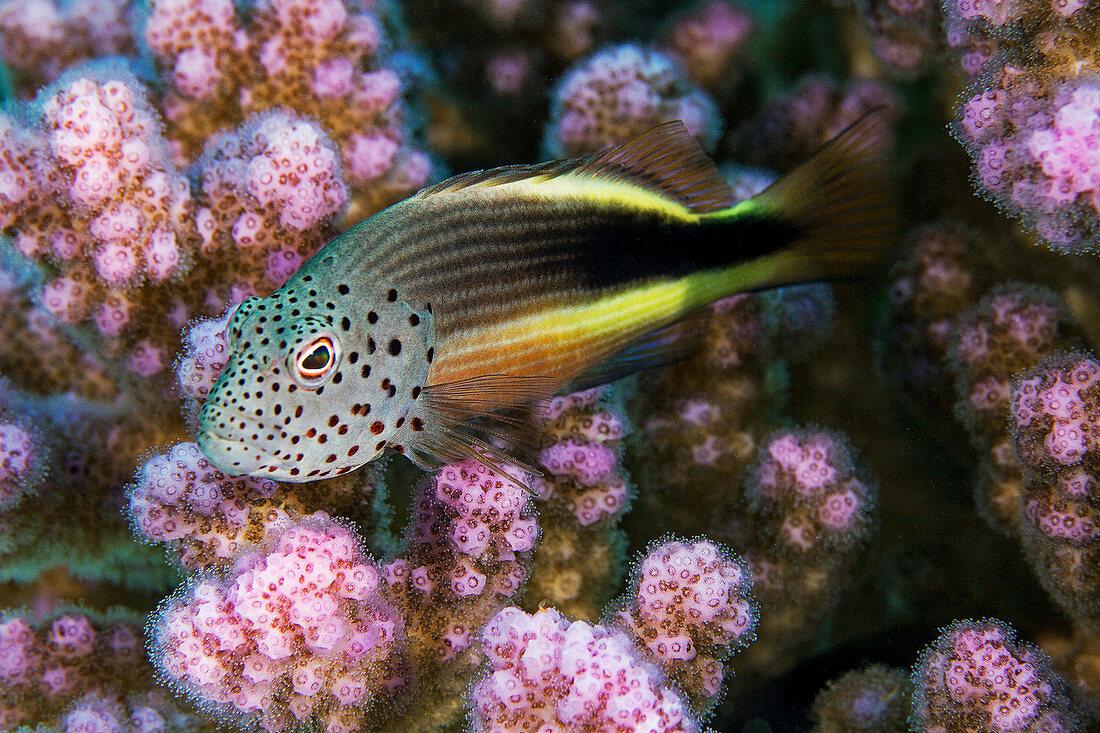 Black-sided hawkfish