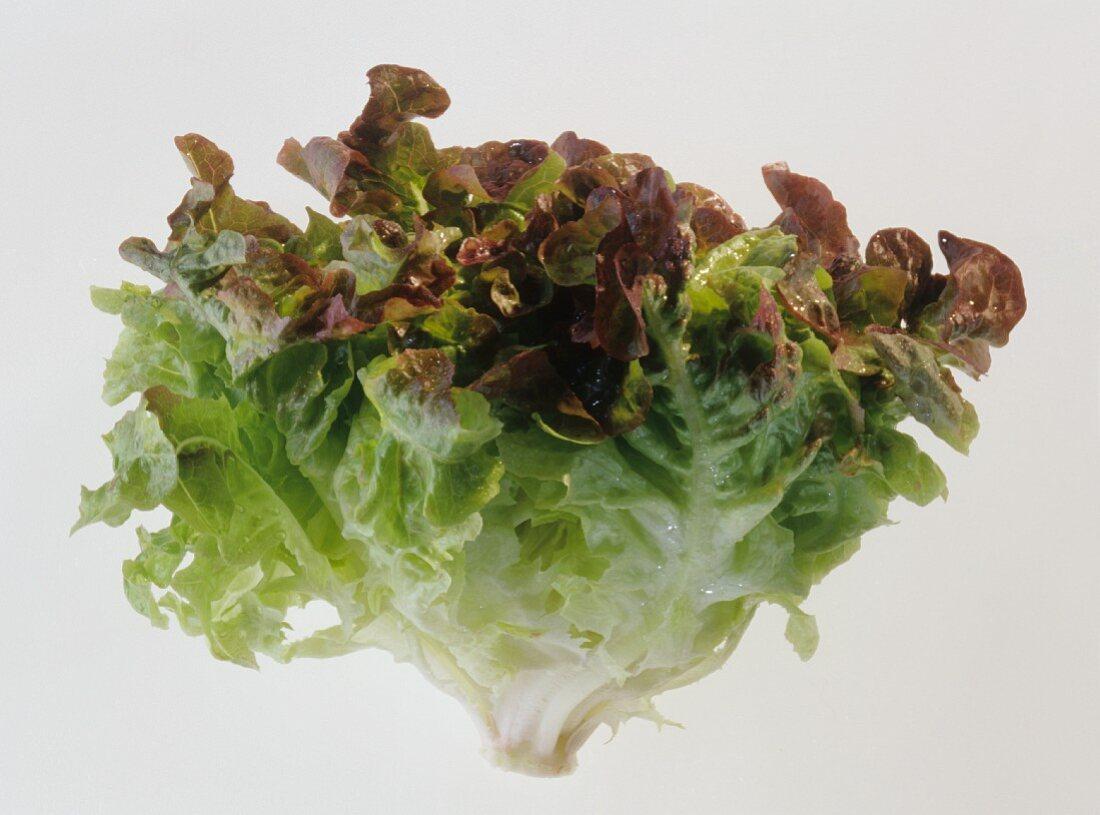 A Head of Oak Leaf Lettuce