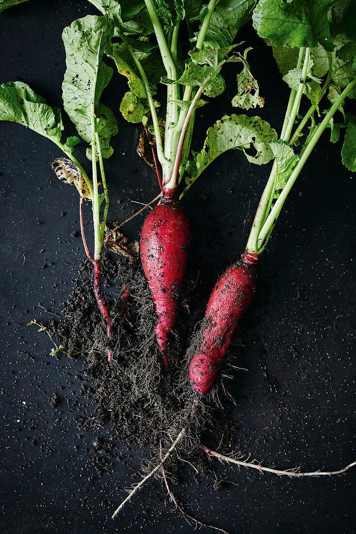 Freshly harvested red radishes