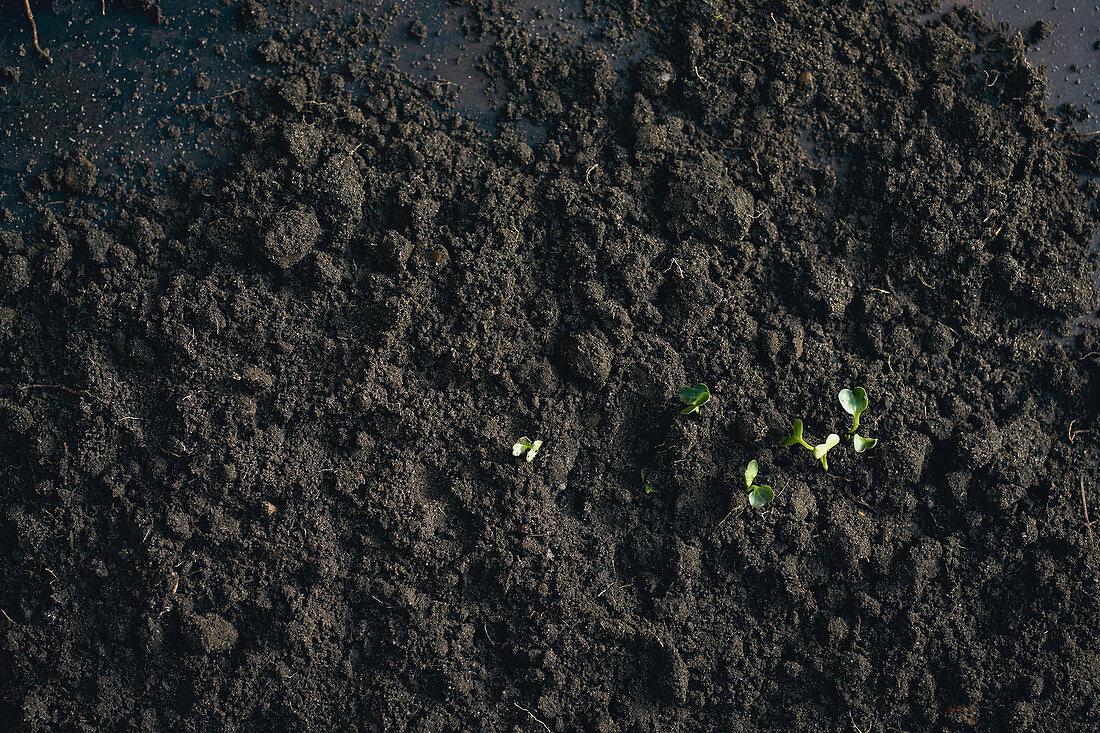 Cress growing in spring