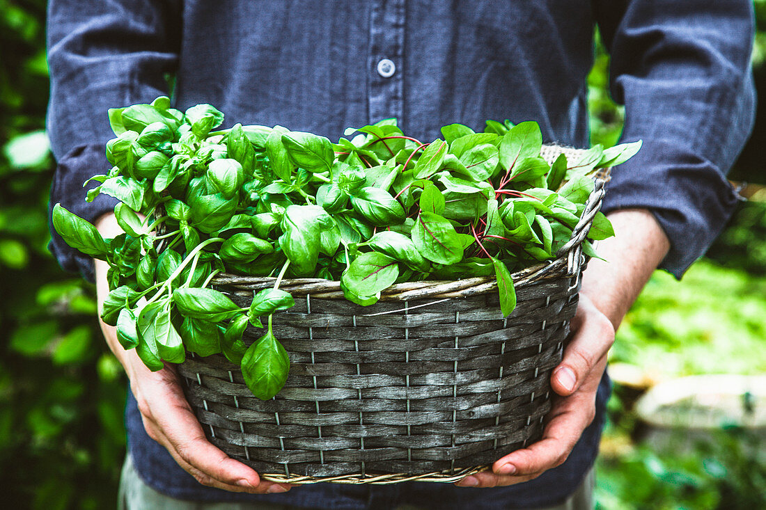 Farmers hands with fresh organic basil