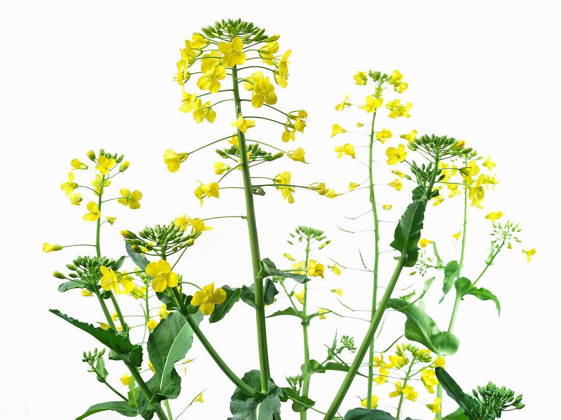Rape flowers