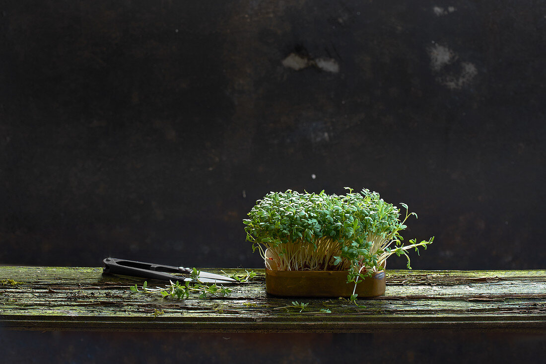 Fresh cress in a dish with scissors on a wooden plank