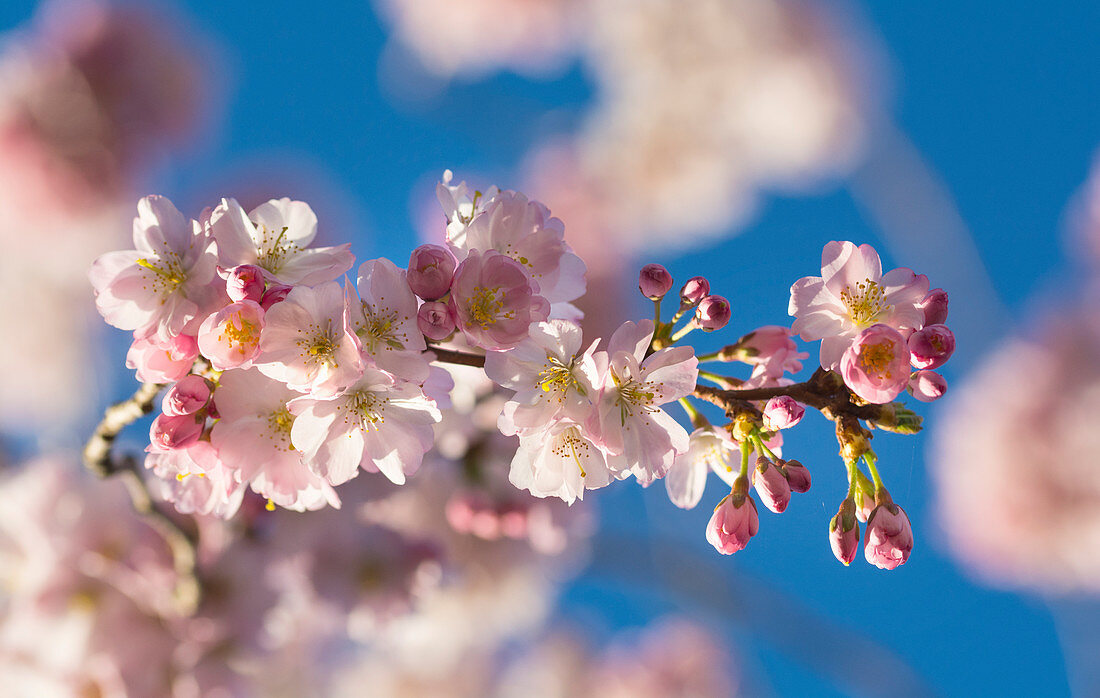 Pink blooming cherry blossom branch in front of a blue sky