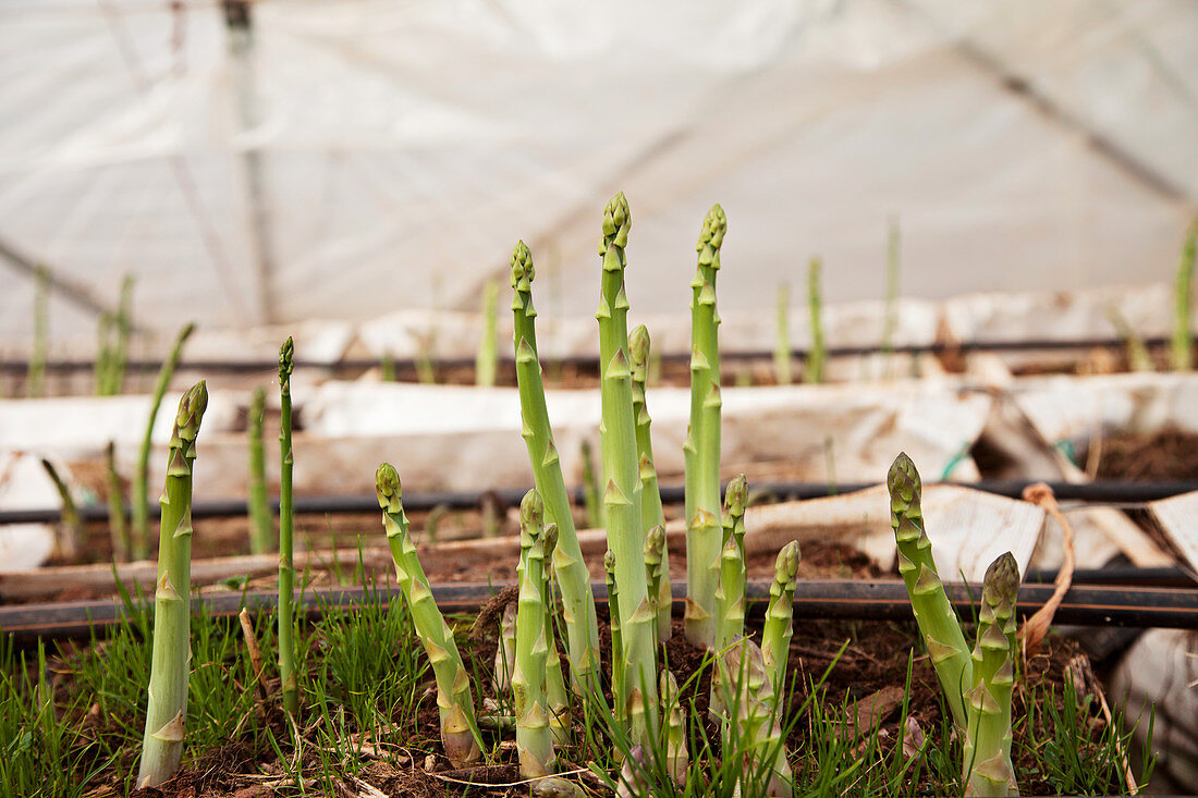Asparagus shoots coming up through the ground in a Greenhouse