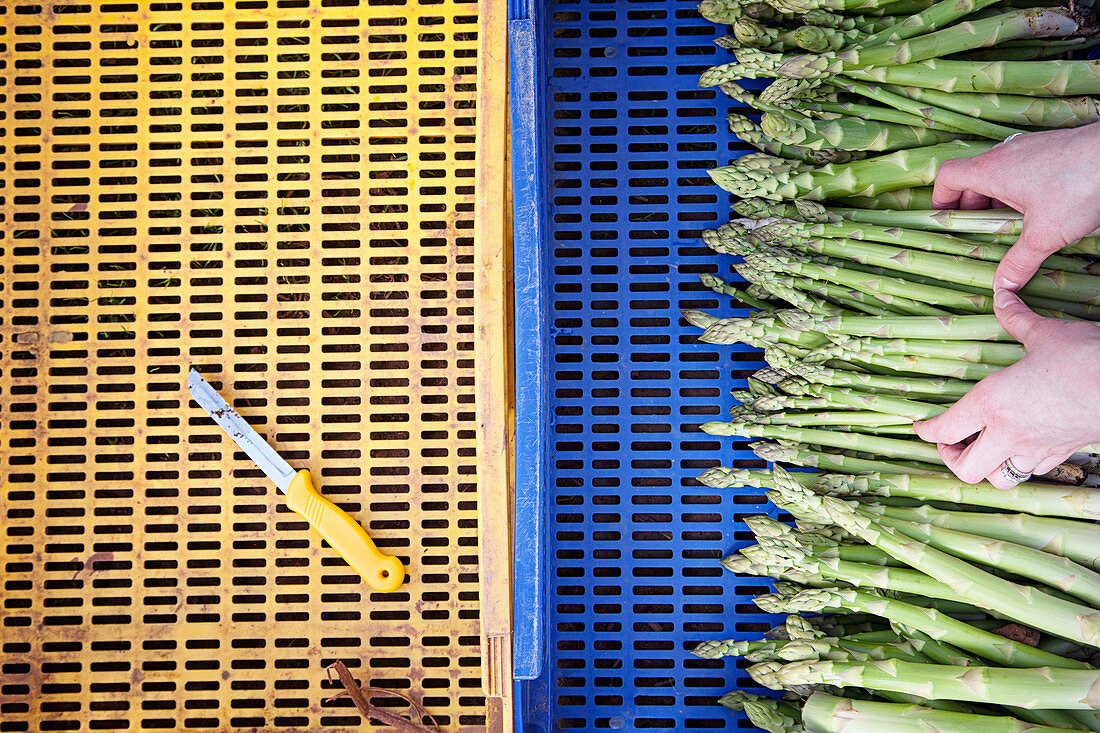 Hands placing Asparagus into a blue tray, with a yellow knife in a yellow tray