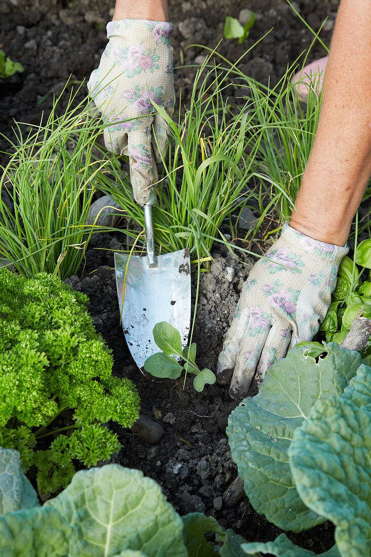 Planting vegetable seedlings outside