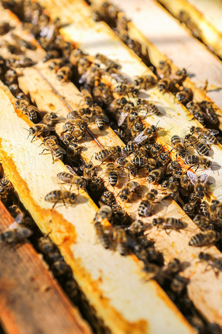 Bees in front of a beehive
