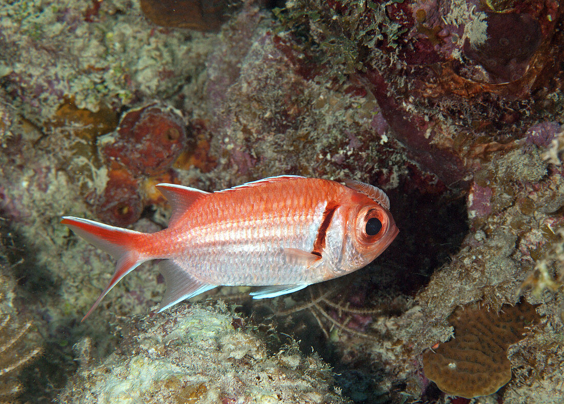 Blackbar soldierfish (Myripristis jacobus)
