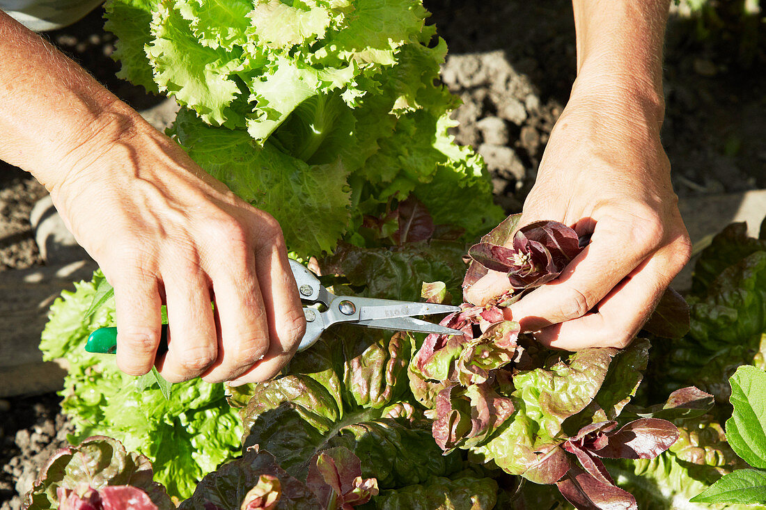 Lettuce leaves being cut with a pair of scissors