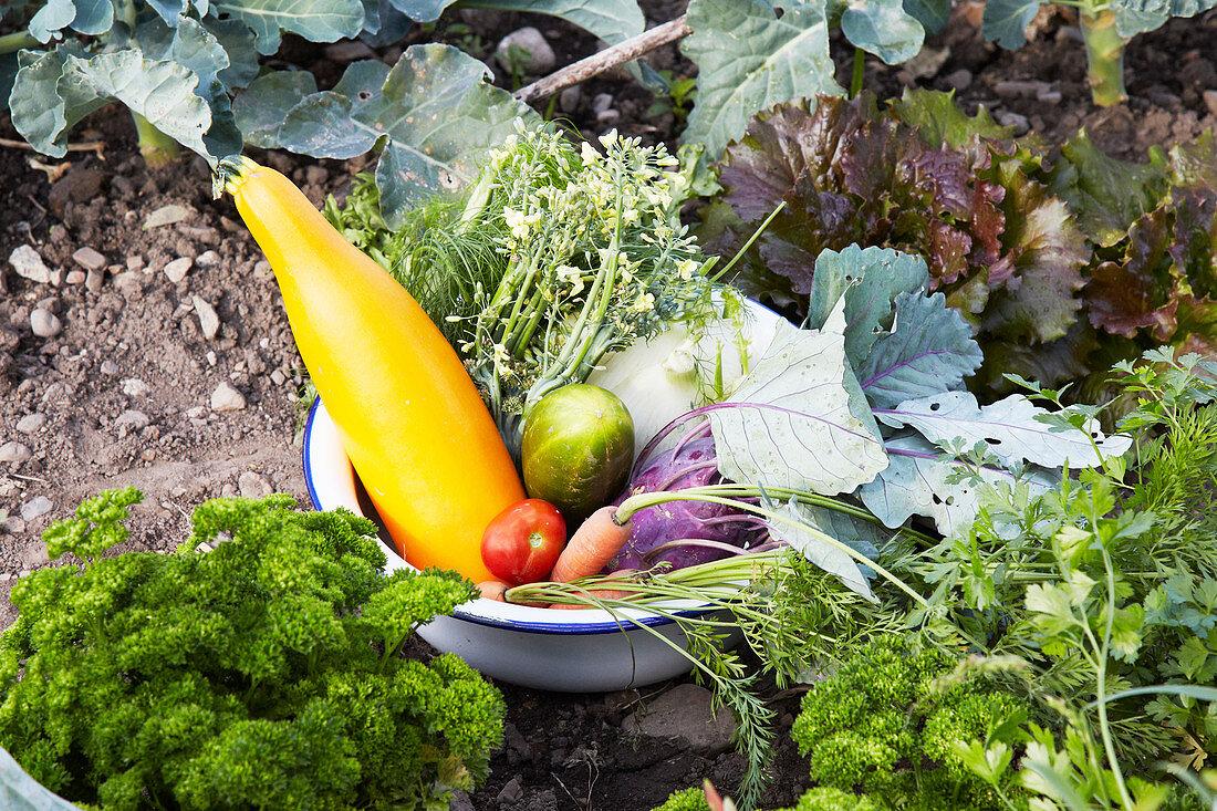 Freshly harvested vegetables in an enamel bowl in a field