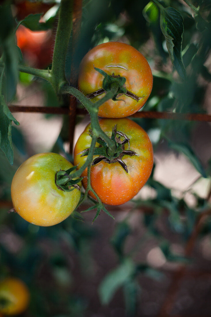 Red Tomatoes on the Vine