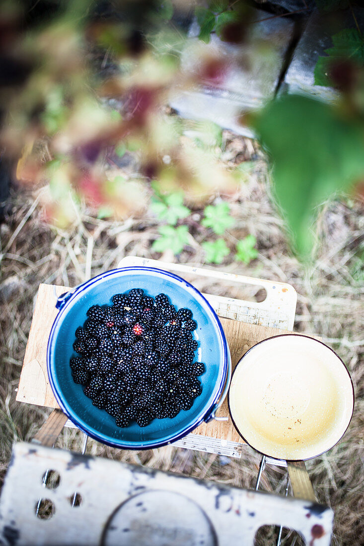 Freshly picked blackberries in a bowl