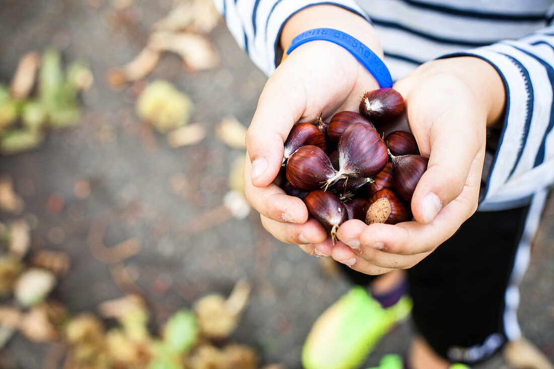 A child holding chestnuts