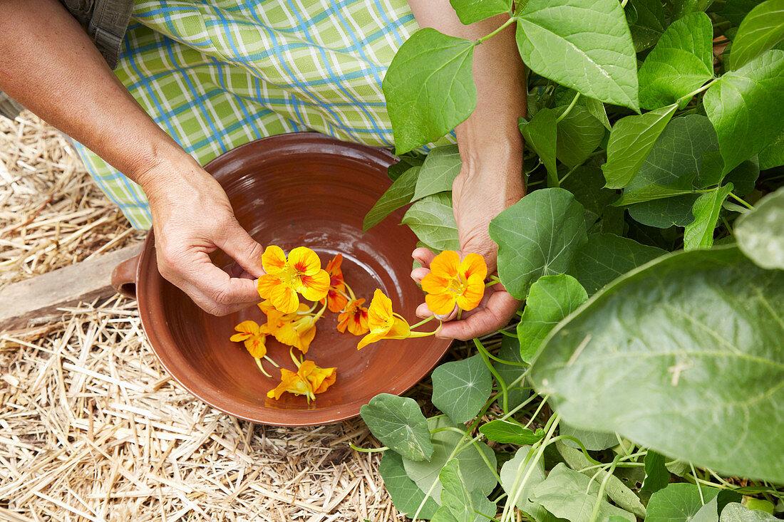 Picking nasturtium flowers