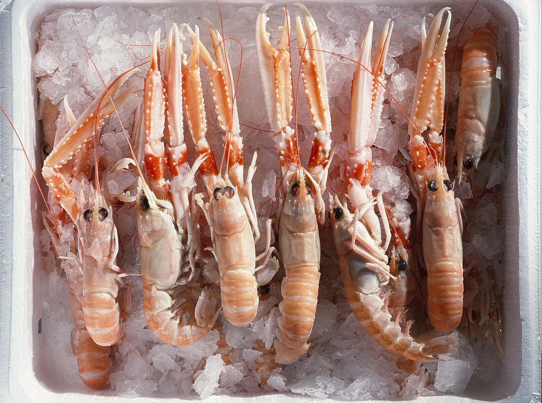 Norway lobster (scampi) on ice for packaging
