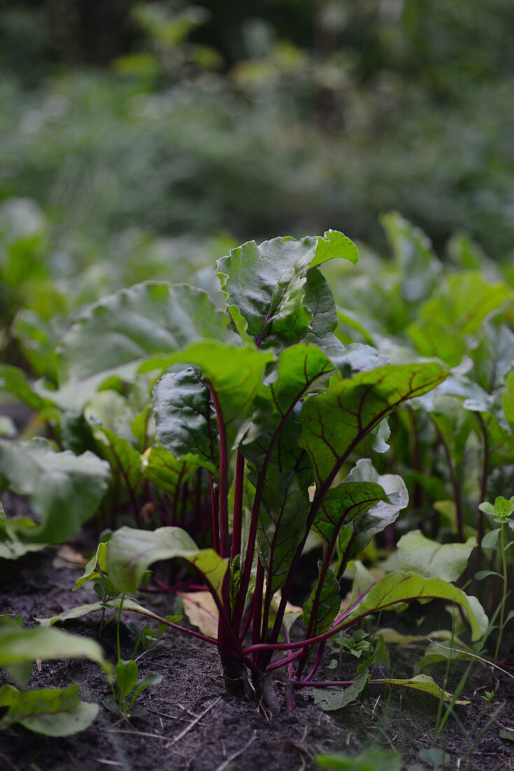 Beet leaves beet growing in the field beet patches