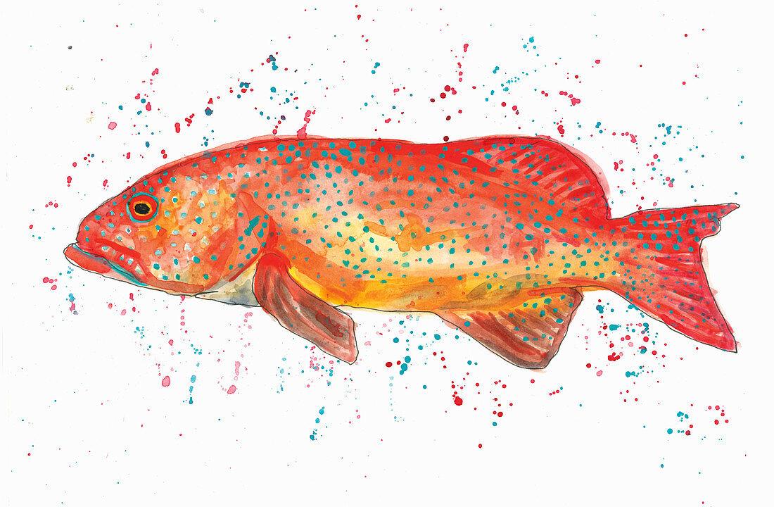 Coral Trout Illustration
