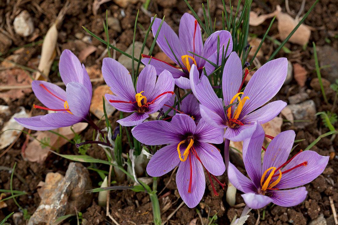 Violett blühender griechischer Safran (Crocus sativus) auf dem Feld